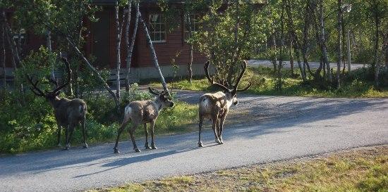 Reindeers on the spotlight
