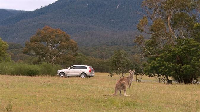 Beware! Kangaroo ahead!